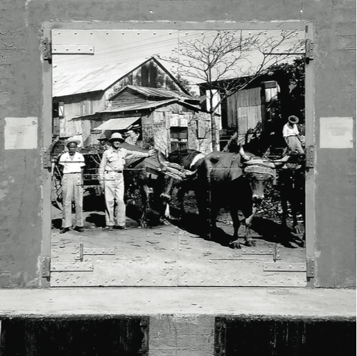 Navy assessor Jaime Annexy inspecting the cattle, December 1941, 8' x 9' Black and White photo installed on the doors of Bunker #412, Vieques, P.R., 2014.